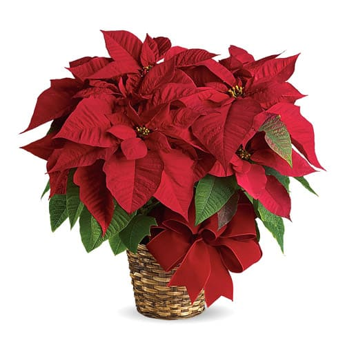 Delightful Arrangement of Poinsettia Plant in a Pot